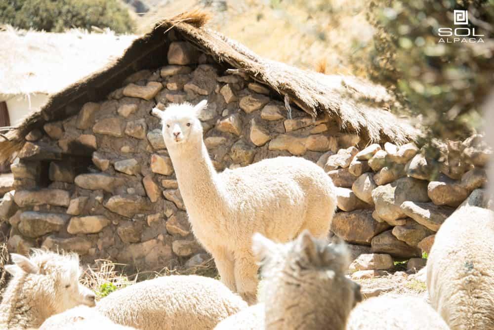 alpaca-characteristics-04