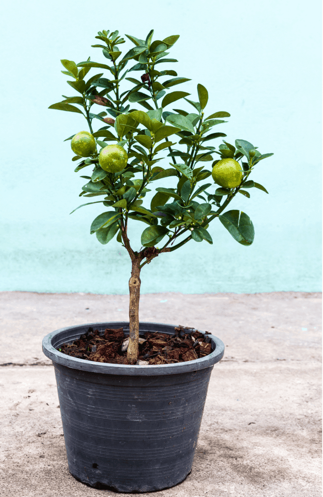 lemon tree in a brown pot on the ground with a blue background