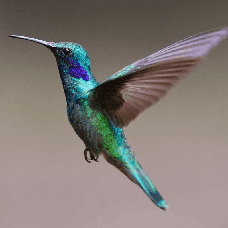 Blue and purple hummingbird